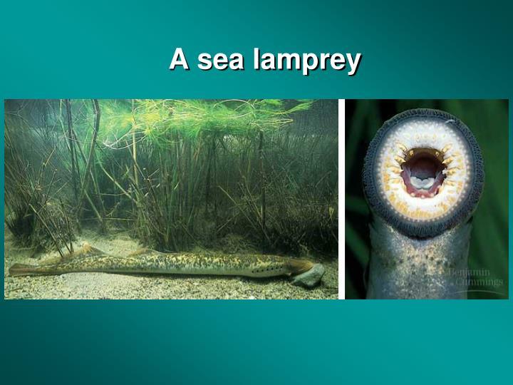 A sea lamprey