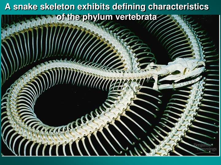 A snake skeleton exhibits defining characteristics of the phylum vertebrata