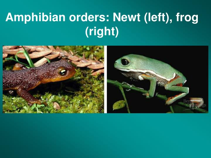 Amphibian orders: Newt (left), frog (right)