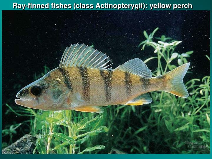Ray-finned fishes (class Actinopterygii): yellow perch