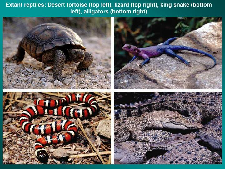Extant reptiles: Desert tortoise (top left), lizard (top right), king snake (bottom left), alligators (bottom right)