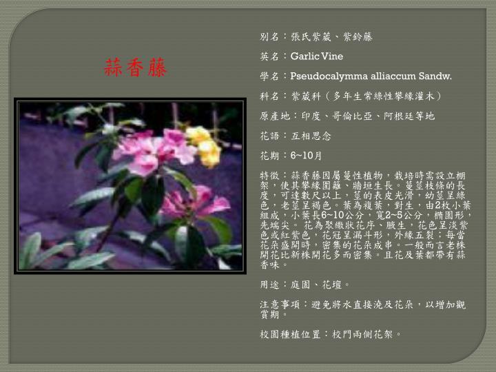 別名:張氏紫葳、紫鈴籐