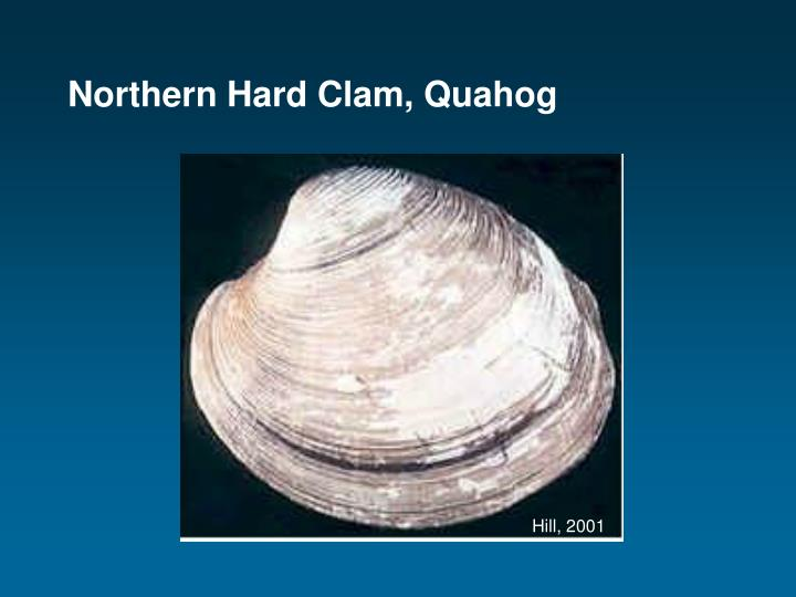 Northern Hard Clam, Quahog