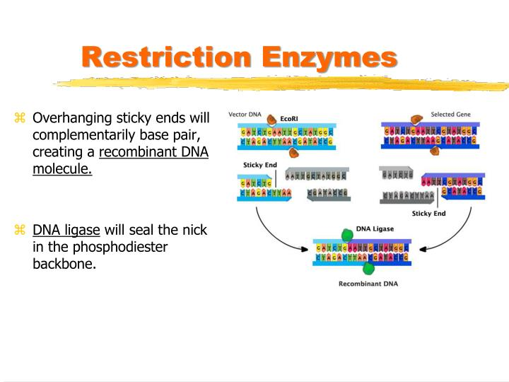 restriction enzymes This set of lessons describes how to configure the display of restriction enzymes,  work with enzymes view, obtain information about individual enzymes, and.