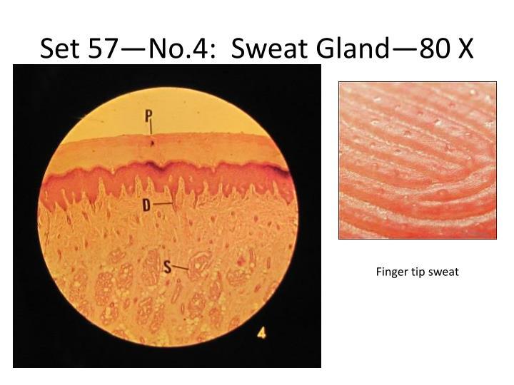Set 57—No.4:  Sweat Gland—80 X