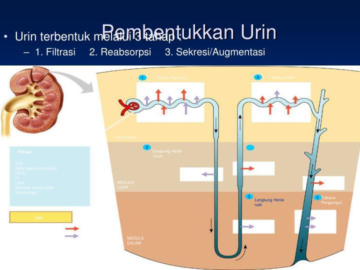 Pembentukkan Urin
