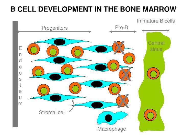 Immature B cells