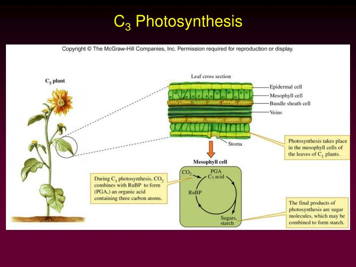 Photosynthetic pathways