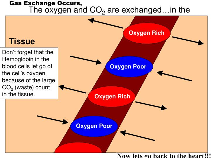 Gas Exchange Occurs,