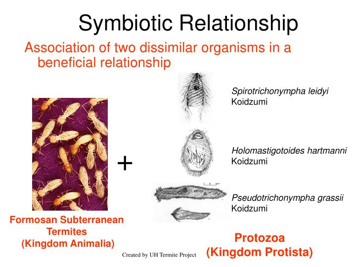 Spirotrichonympha leidyi