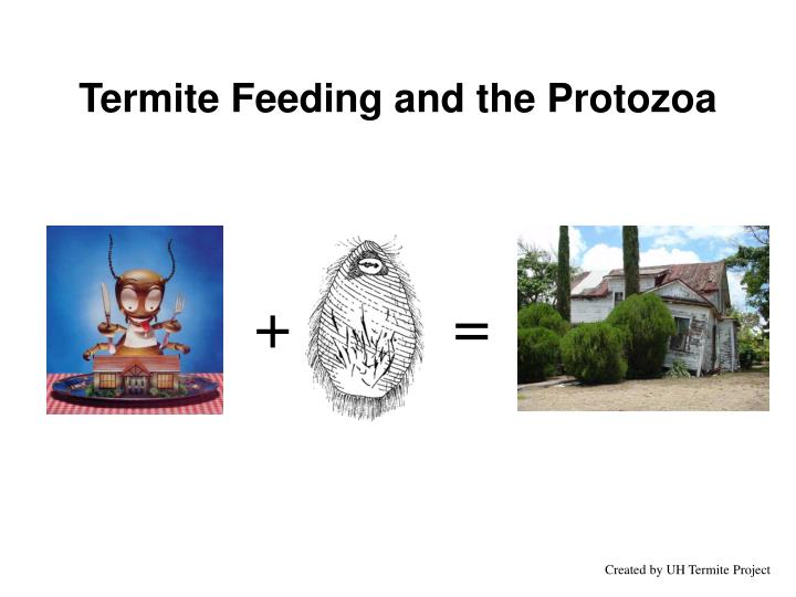 Termite Feeding and the Protozoa