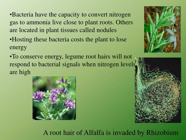 A root hair of Alfalfa is invaded by Rhizobium