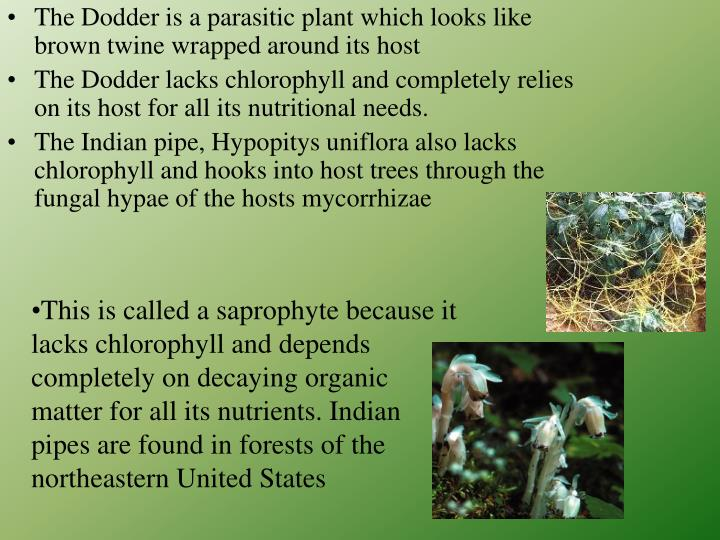 This is called a saprophyte because it lacks chlorophyll and depends completely on decaying organic matter for all its nutrients. Indian pipes are found in forests of the northeastern United States