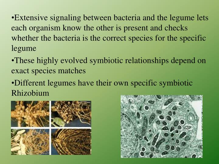 Extensive signaling between bacteria and the legume lets each organism know the other is present and checks whether the bacteria is the correct species for the specific legume