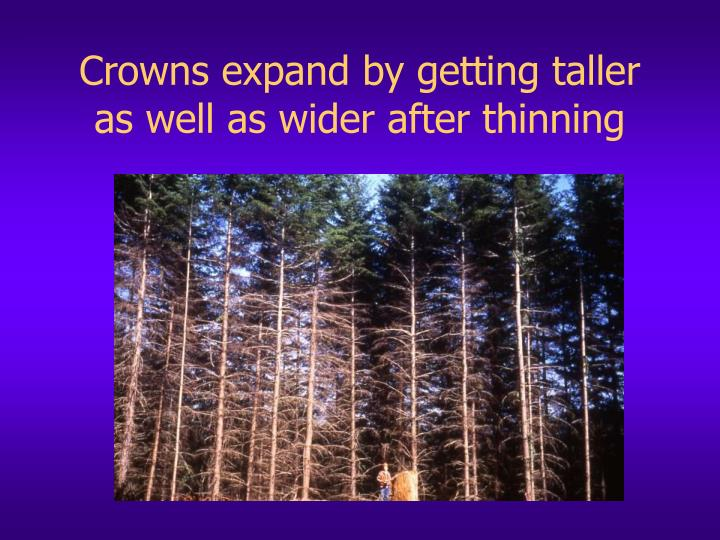 Crowns expand by getting taller as well as wider after thinning