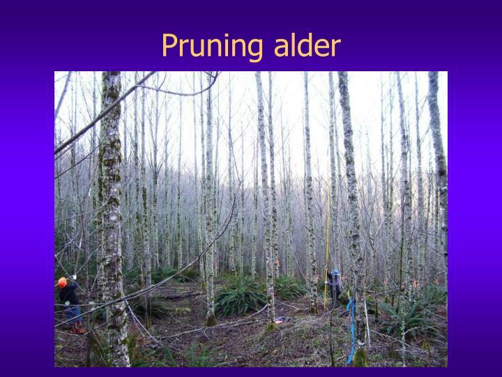 Pruning alder