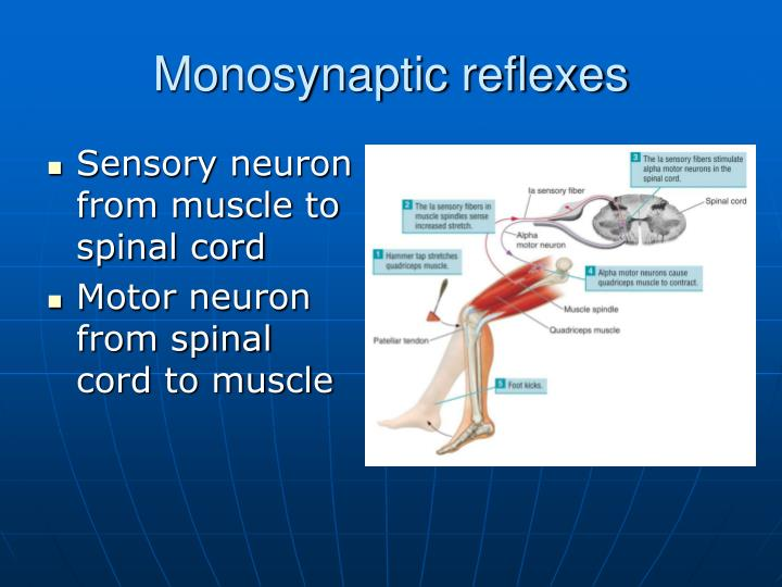 Sensory neuron from muscle to spinal cord