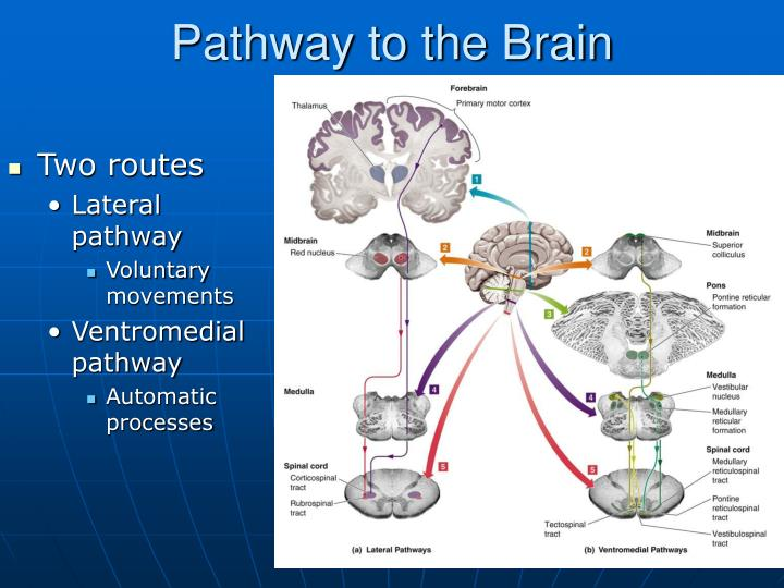Pathway to the Brain