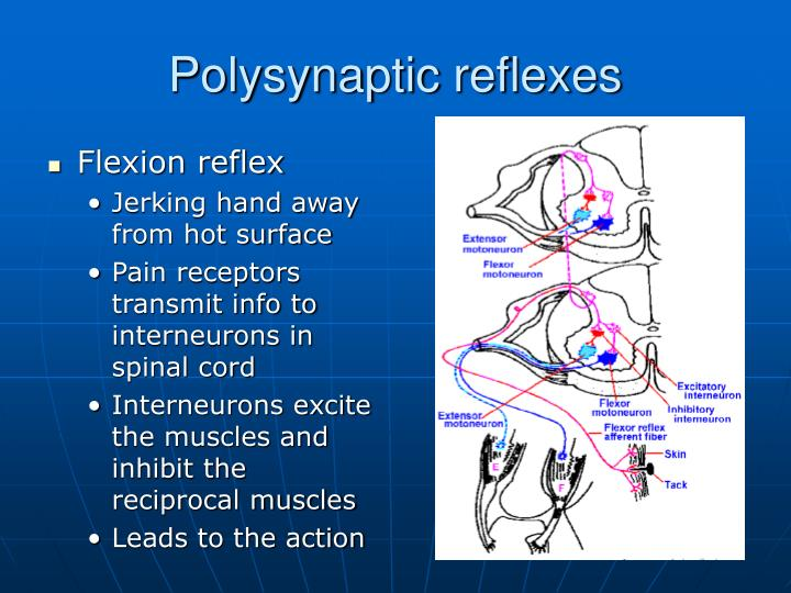 Polysynaptic reflexes