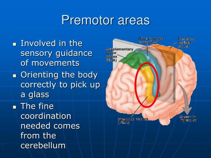 Premotor areas
