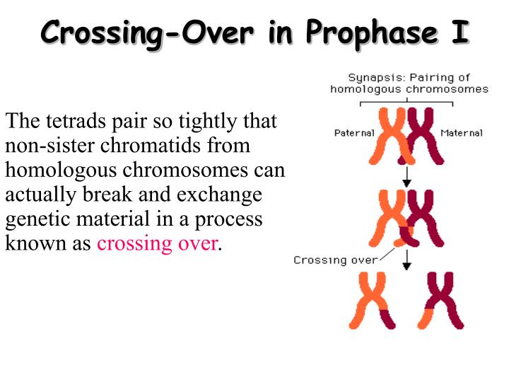 Crossing-Over in Prophase I