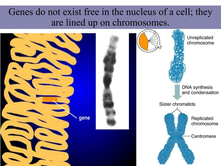 Genes do not exist free in the nucleus of a cell; they are lined up on chromosomes.