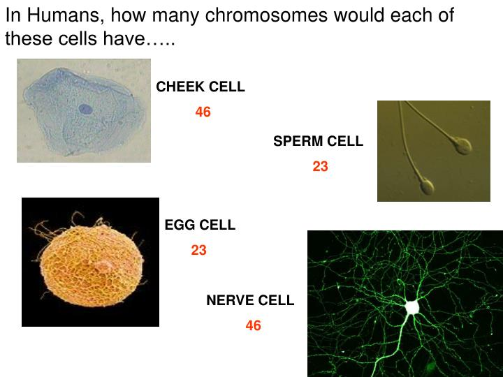 In Humans, how many chromosomes would each of these cells have…..