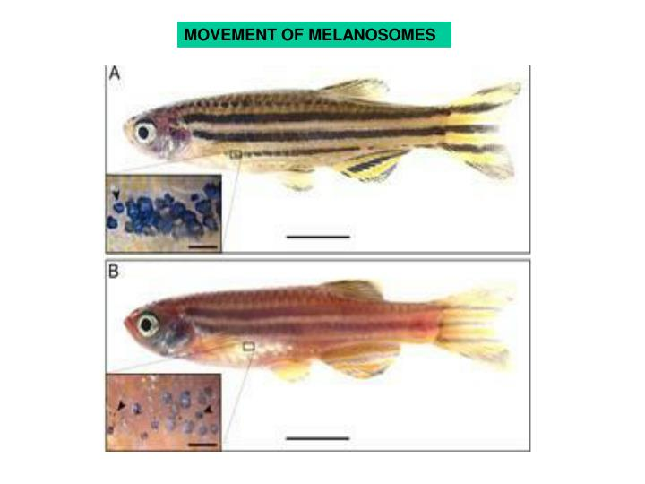 MOVEMENT OF MELANOSOMES