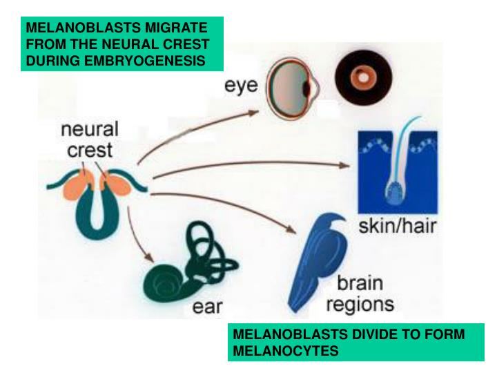 MELANOBLASTS MIGRATE FROM THE NEURAL CREST DURING EMBRYOGENESIS