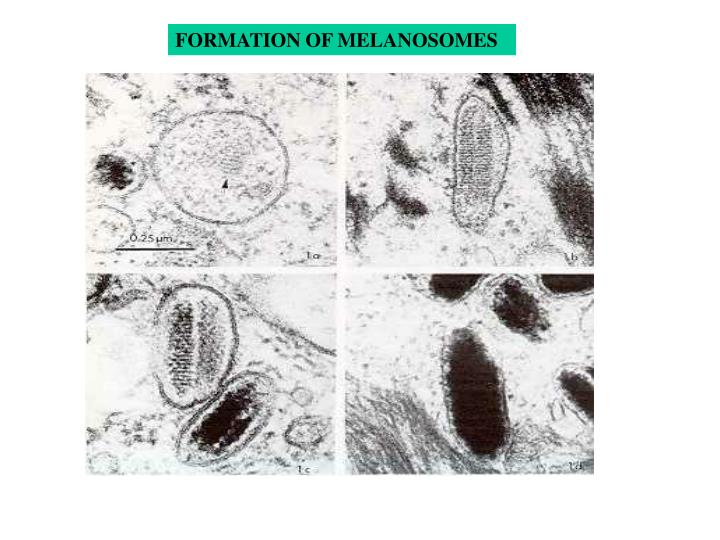 FORMATION OF MELANOSOMES
