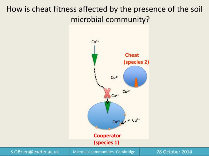 How is cheat fitness affected by the presence of the soil microbial community?