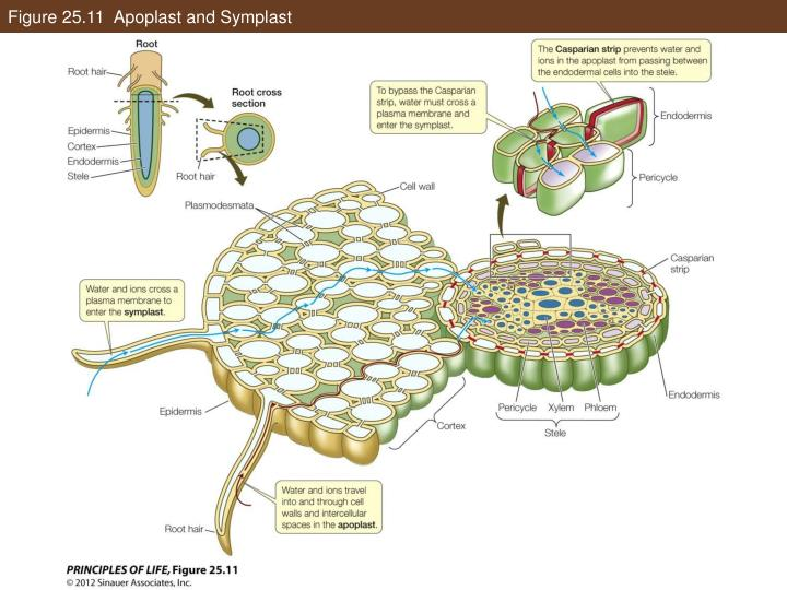 Figure 25.11  Apoplast and Symplast