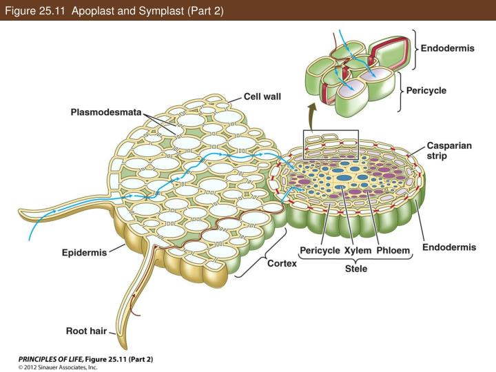 Figure 25.11  Apoplast and Symplast (Part 2)