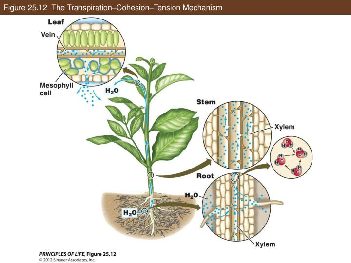 Figure 25.12  The Transpiration–Cohesion–Tension Mechanism