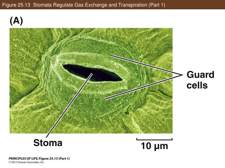 Figure 25.13  Stomata Regulate Gas Exchange and Transpiration (Part 1)