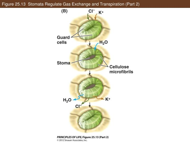 Figure 25.13  Stomata Regulate Gas Exchange and Transpiration (Part 2)