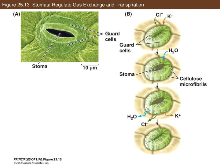 Figure 25.13  Stomata Regulate Gas Exchange and Transpiration