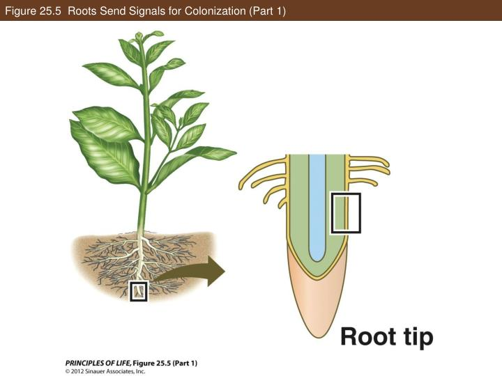 Figure 25.5  Roots Send Signals for Colonization (Part 1)