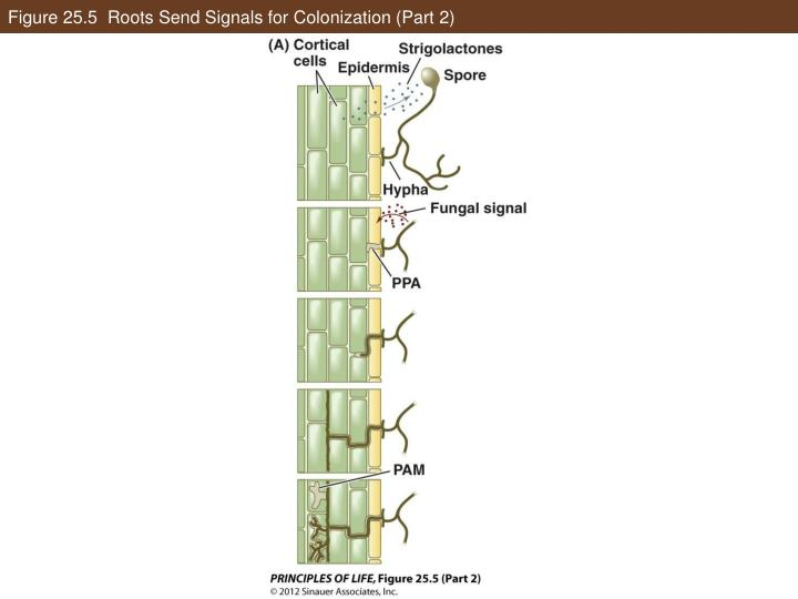 Figure 25.5  Roots Send Signals for Colonization (Part 2)