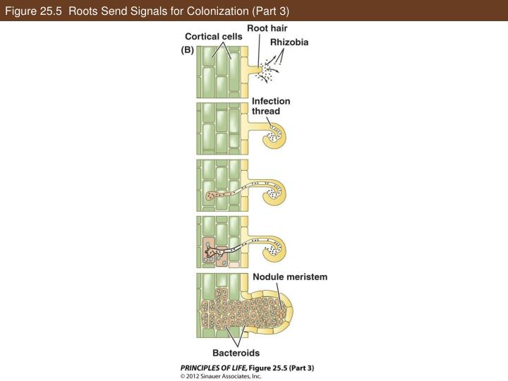 Figure 25.5  Roots Send Signals for Colonization (Part 3)
