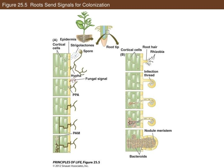 Figure 25.5  Roots Send Signals for Colonization