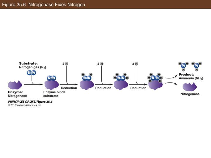 Figure 25.6  Nitrogenase Fixes Nitrogen
