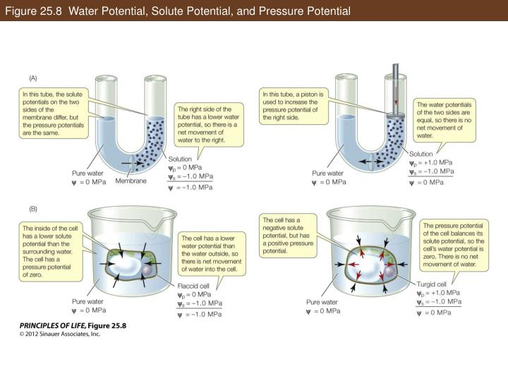 Figure 25.8  Water Potential, Solute Potential, and Pressure Potential