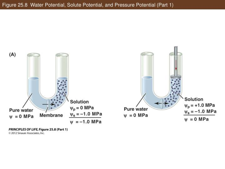 Figure 25.8  Water Potential, Solute Potential, and Pressure Potential (Part 1)