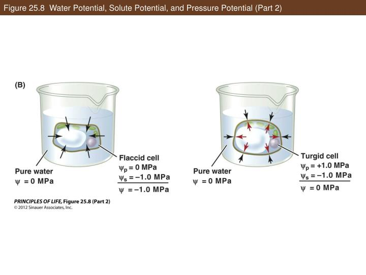 Figure 25.8  Water Potential, Solute Potential, and Pressure Potential (Part 2)