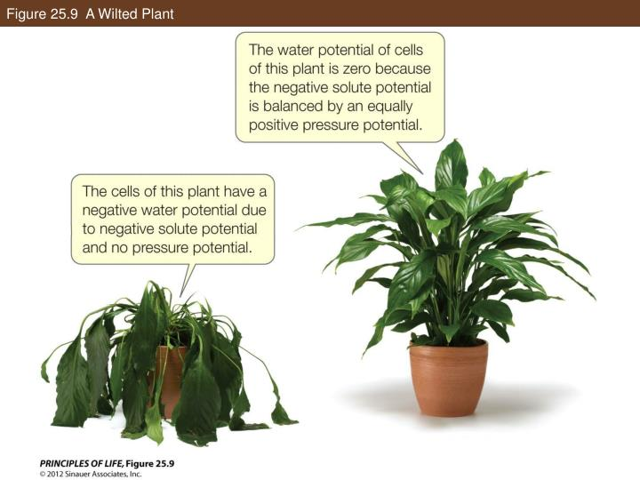 Figure 25.9  A Wilted Plant