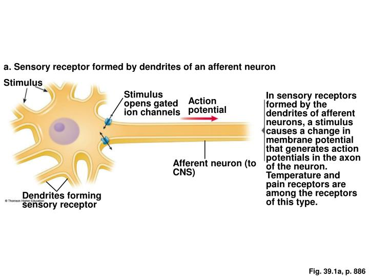 a. Sensory receptor formed by dendrites of an afferent neuron