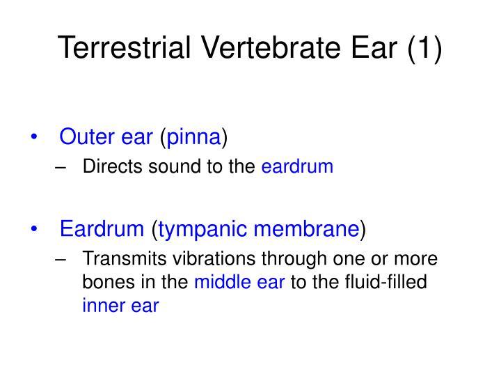 Terrestrial Vertebrate Ear (1)