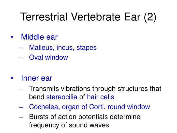 Terrestrial Vertebrate Ear (2)