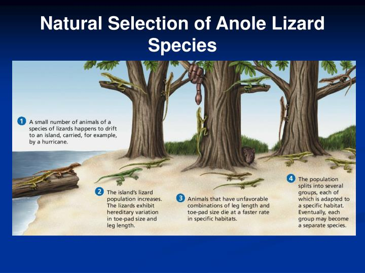 Natural Selection Anole